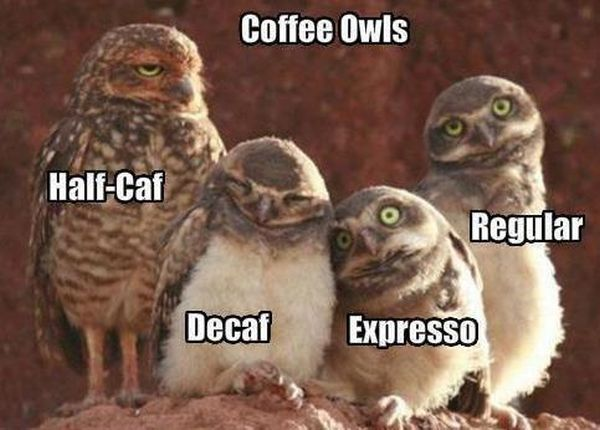 Coffee Owls - Funny pictures