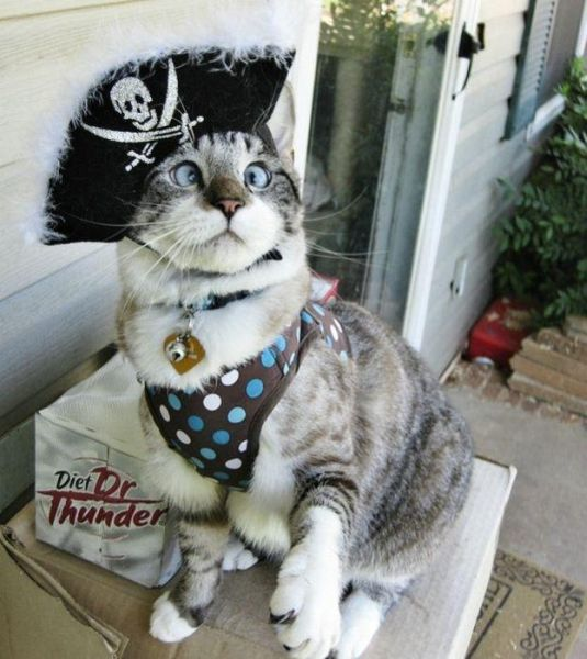 Pirate Cat - Funny pictures