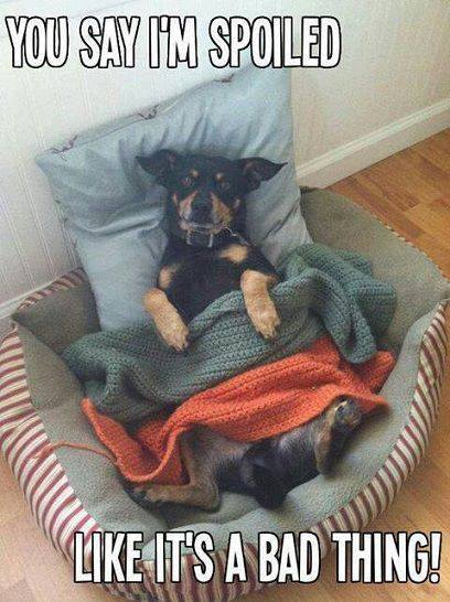 Spoiled Dog - Funny pictures