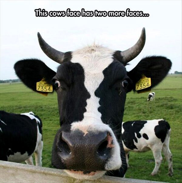 Two Faced Cow - Funny pictures