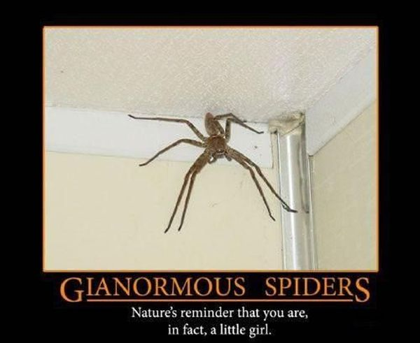 Gianormous Spiders - Funny pictures