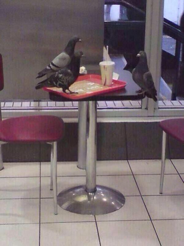 Pigeon Job Interview - Funny pictures